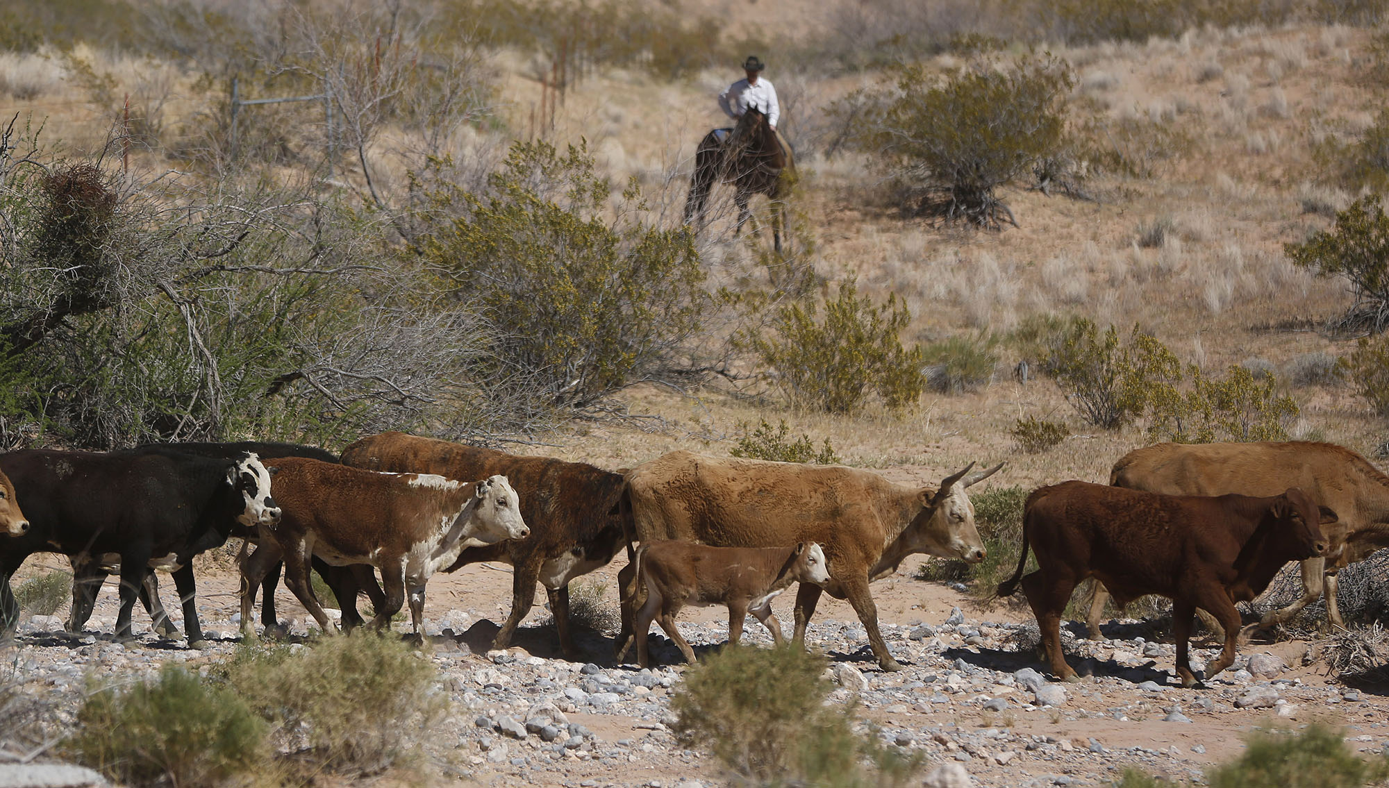 Cattle that belongs to rancher Cliven Bundy are released near Bunkerville, Nevada April 12,
