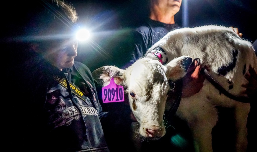 Footage of Calves Shows Holes in California's Animal Welfare Law