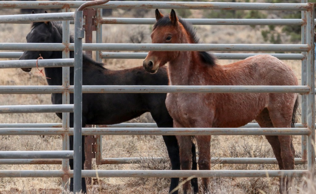 California Wild Horse Roundup Could Lead to Illegal Slaughter